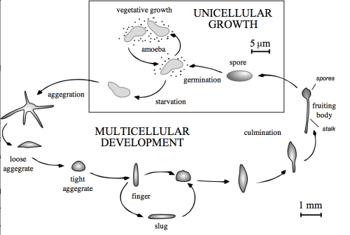 Lifecycle of Dictyostelium | Image by Tijmen Stam, via Wikimedia Commons